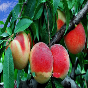 Elberta Peach tree seeds