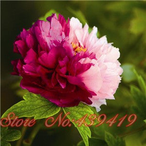 Pink and Burgandy peony seeds-5