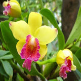 Pink and Yellow Orchid seeds