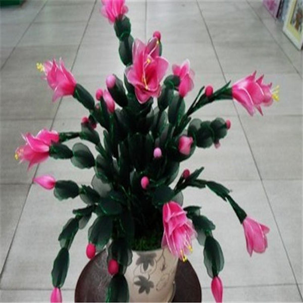 Pink flowering crab cactus - seeds