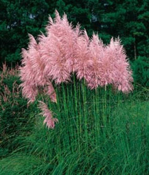 PINK PAMPAS GRASS --  seeds