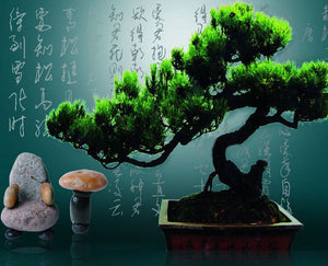 Pinus Bonsai seeds