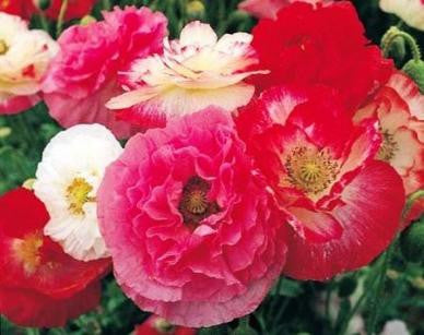 """ POPPY POWER""  mixed  seeds"