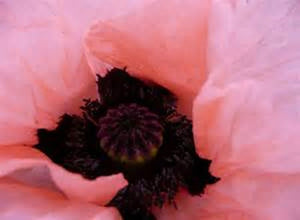 PRINCESS VICTORIA LOUISE POPPY seeds