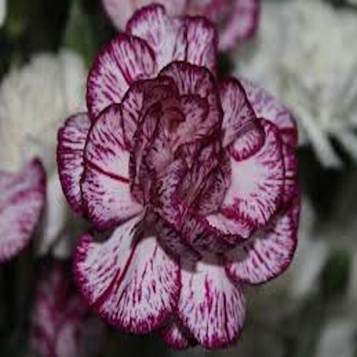 Purple and White Carnation