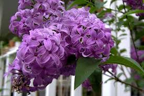 Purple Fench Lilac seeds
