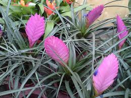 "Purple ""Pineapple"" Lily Plant Approx. 75 seeds"