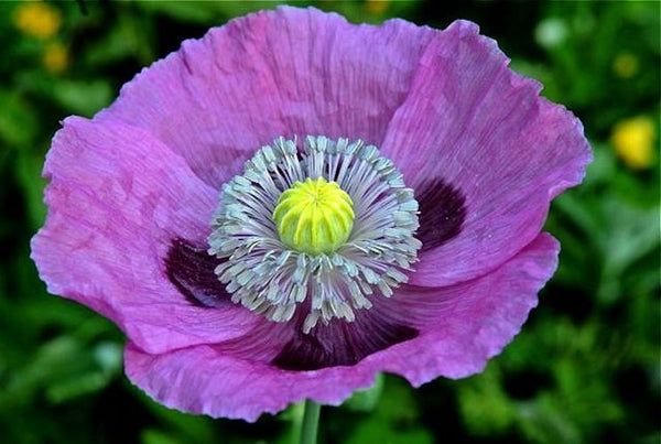 100 PURPLE PAPAVER POPPY seeds