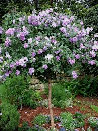 PURPLE ROSE TREE --- Approx. 15 seeds