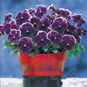 Purple and white Pansy -seeds