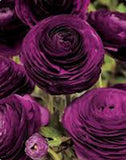 DARK PURPLE Ranunculus seeds