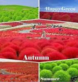 "RED "" BURNING"" GRASS --- 100seeds"