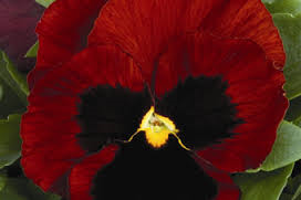 RED Pansy seeds Approx 20