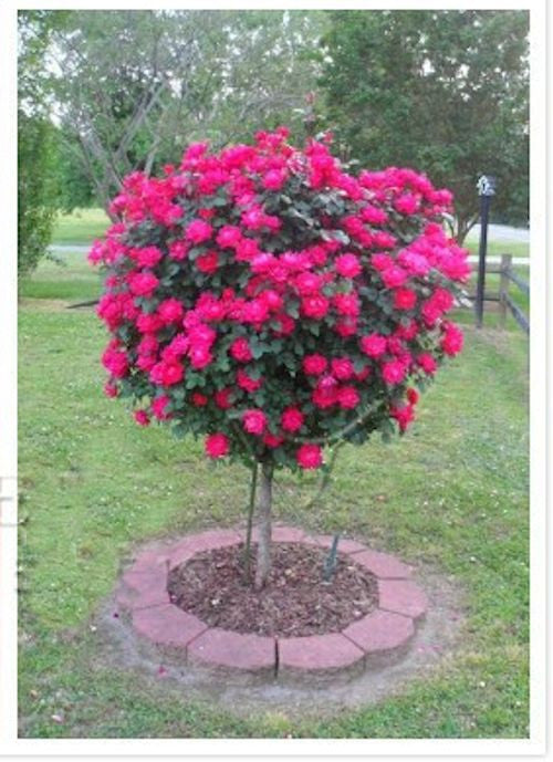 10 RED ROSE TREE seeds