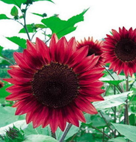 RED VELVET QUEEN SUNFLOWER seeds