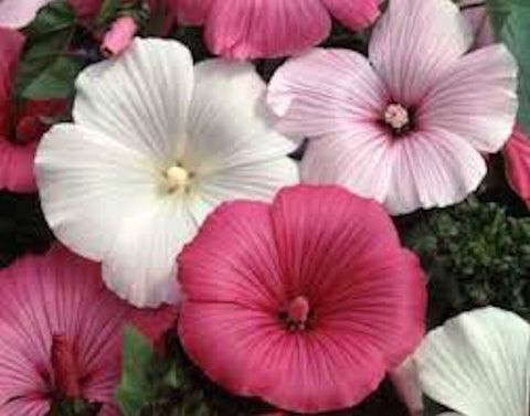 50 ROSE MALLOW mixed seeds