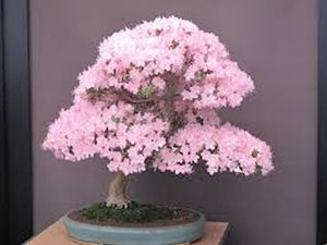 Pink Sakura Bonsai Seeds -5