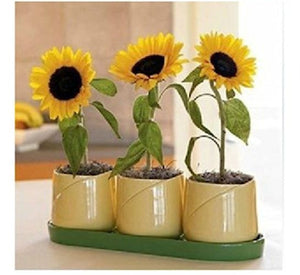 Short Indoor Sunflower seeds / Or potted
