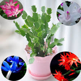 SKYBLUE CRAB CACTUS -- 100 seeds
