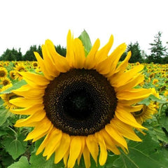 Sunflower Seeds - Mammoth Grey-Stripe Helianthus annuus -