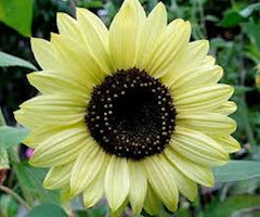 Sunflower Lemon Sunset seeds approx 20