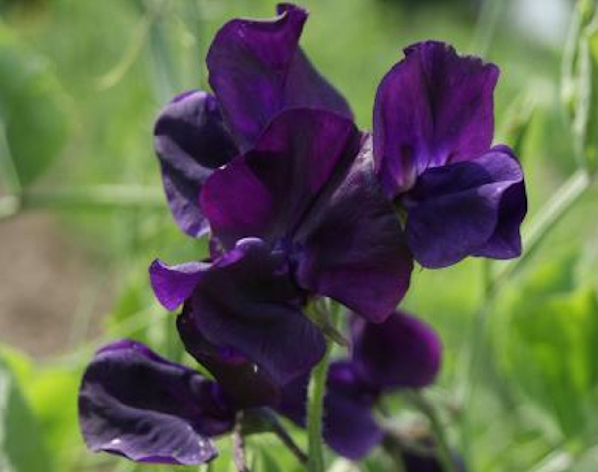 "Sweet Pea ""Royal Family-Navy blue"" seeds"