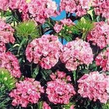 "Sweet William "" Pink Beauty"" seeds Approx 200"