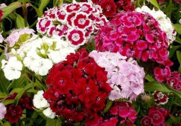 Sweet William Mix -seeds