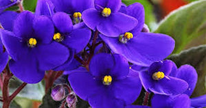 African Violet seeds -Approx 75