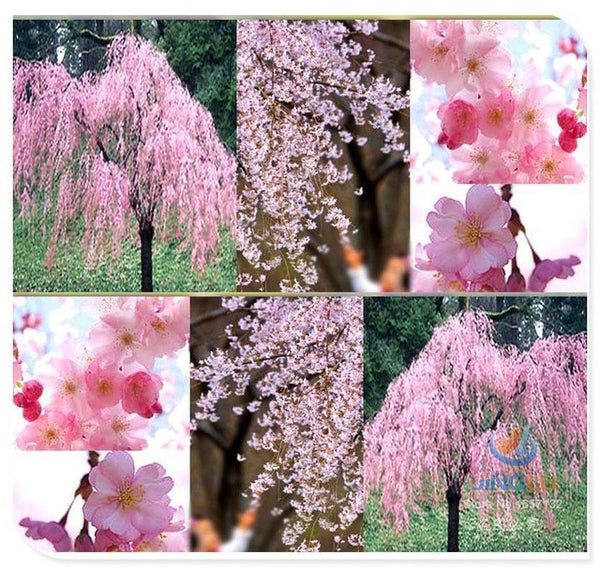 Pink Weeping Cherry Tree - 5 seeds