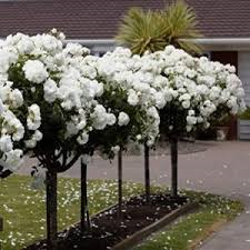 One DOZEN WHITE ROSE TREE seeds