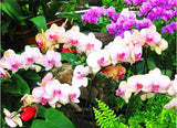 "Orchid ""pink and White' Approx 10 seeds"