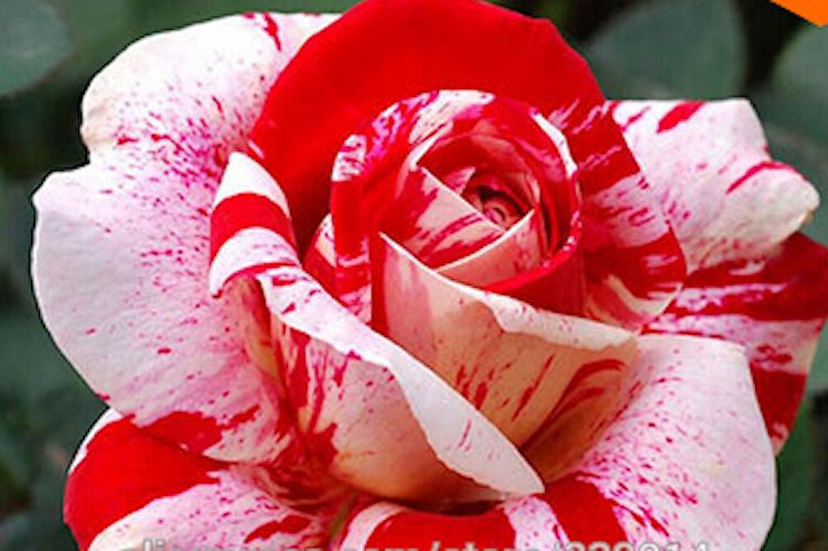 White Blood Rose Rare seeds