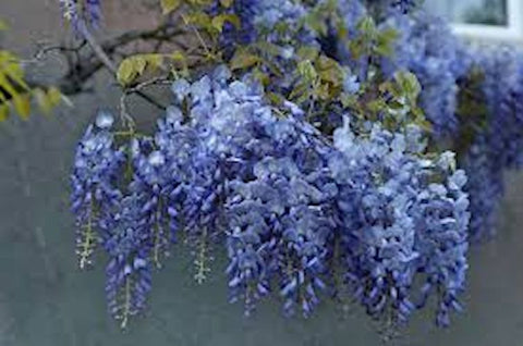 Blue Wisteria-seeds