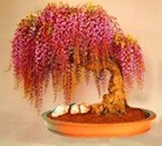 Golden Wisteria Bonsai - 5 seeds