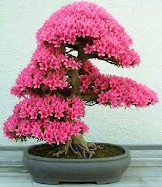 Pink Wisteria Bonsai Seeds-5