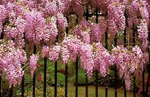 Pink Wisteria -seeds