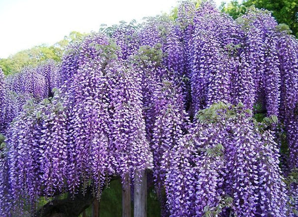 PURPLE WISTERIA --  seeds