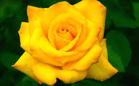 10 Yellow Rose of Texas seeds