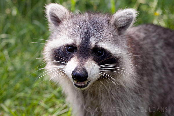 Cutest Raccoon