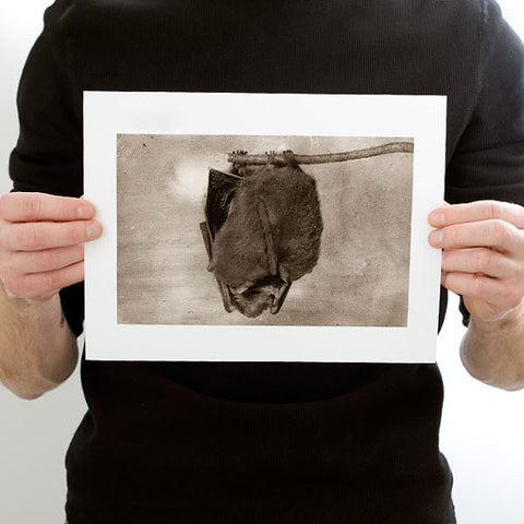 Hanging Brown Bat Photograph