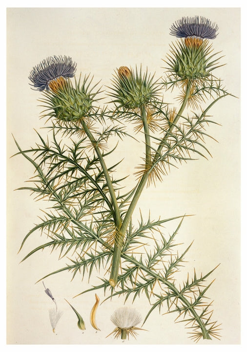 Notecard - Thistle