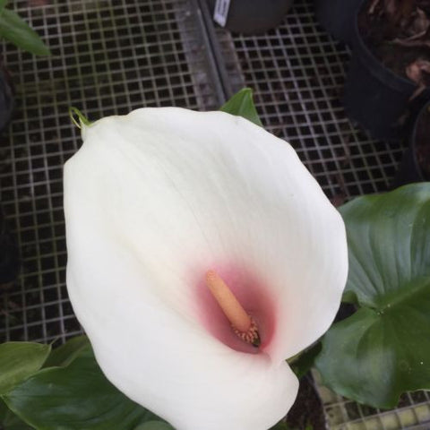 Zantedeschia Kiwi Blush (Arum Lilly) - Champion Plants