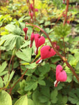 Dicentra spectablis (Bleeding Heart) - Champion Plants