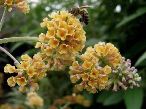 Buddleja x weyeriana Golden Glow - Champion Plants
