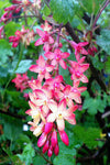 Ribes x gordonianum - Champion Plants