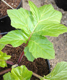 Acanthus Fielding's Gold (Bears Breeches) - Champion Plants - 1