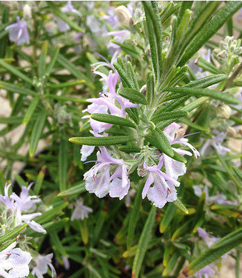 Rosmarinus officinalis - AGM - Champion Plants