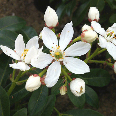 Choisya ternata (Mexican Orange Blossom) - Champion Plants