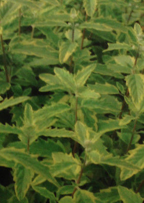 Caryopteris x cland. Summer Sorbet - Champion Plants